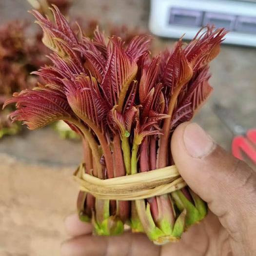 泰安岱岳区 香椿苗   红油香椿苗