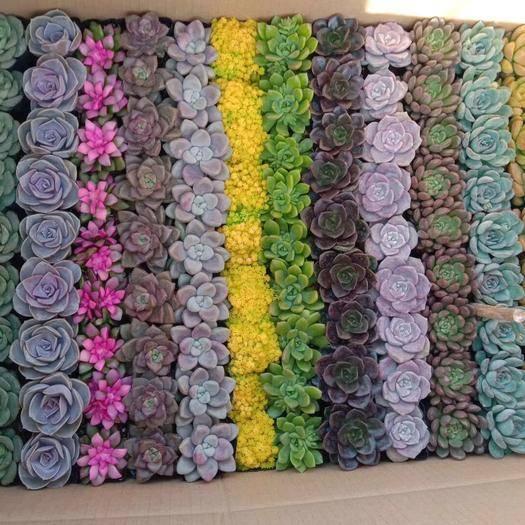 龍海市 多肉植物13色混合117杯,9色54杯 規格齊全 貨保新鮮