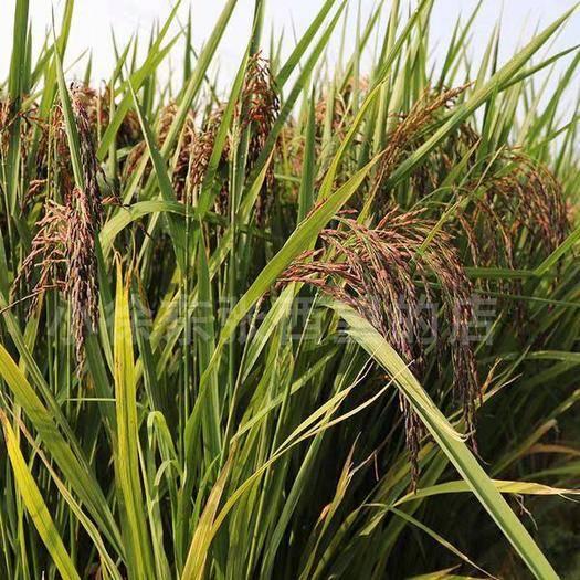 武漢武昌區 高產豐產紅米種子紫紅米
