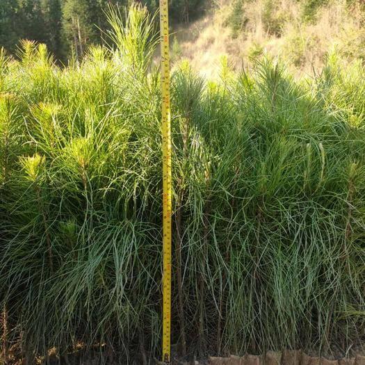 文山丘北县湿地松种子 大量出售湿地松苗100万棵