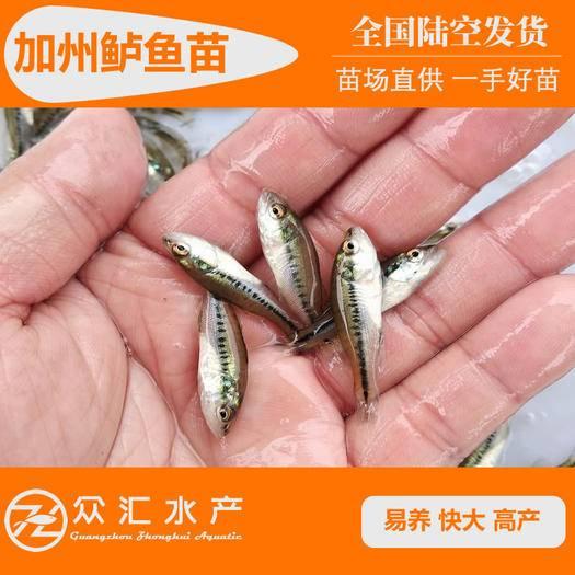 广州花都区 驯化吃料加州鲈鱼苗 鲈鱼苗 优鲈3号 加州鲈水花