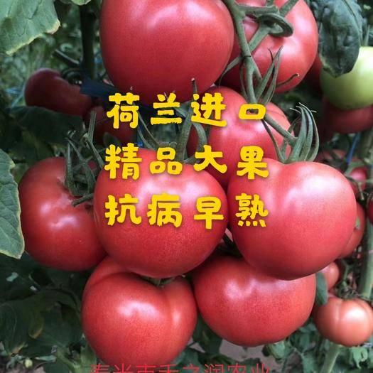 濰坊壽光市大粉番茄苗 西紅柿種苗 番茄苗 抗病毒 抗死棵 早春 越夏 大果硬粉