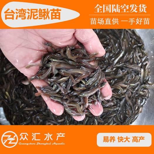 广州花都区台湾泥鳅苗 泥鳅水花 好养不钻泥▶成本低收益大↑苗场技术支持◀