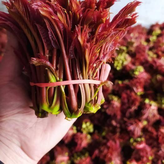 达州大竹县 红油6号红香椿芽