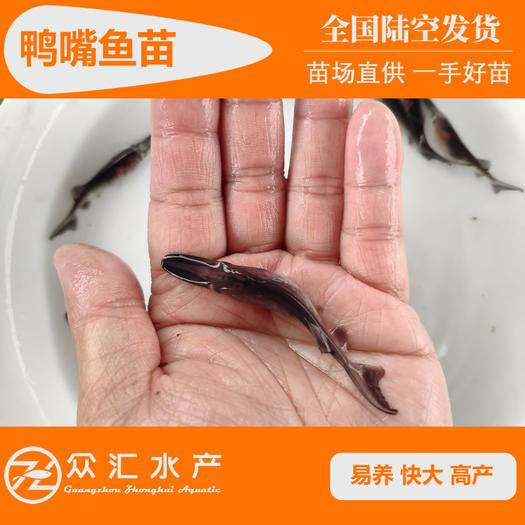 广州花都区鸭嘴鱼苗 匙吻鸭嘴 6-8厘米 苗场直供 一手好苗