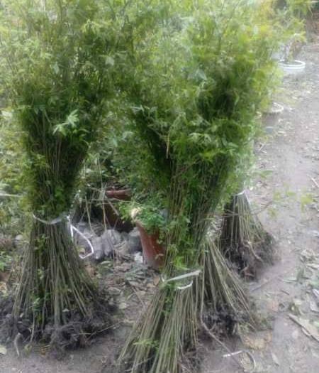 仁壽縣 樸樹當年小苗移栽拼栽最好