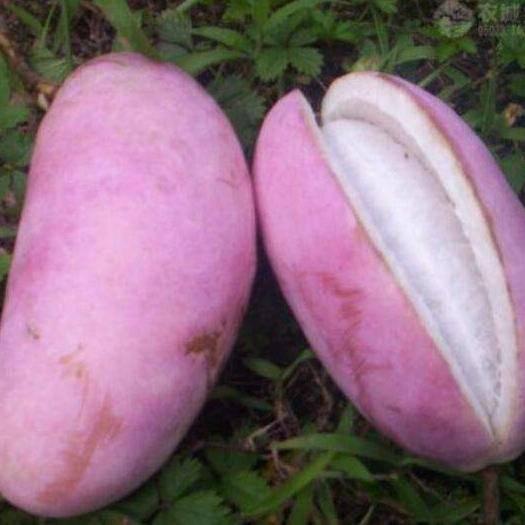 上饒鄱陽縣紫色一號八月瓜 美味紫紅八月果鮮果批發