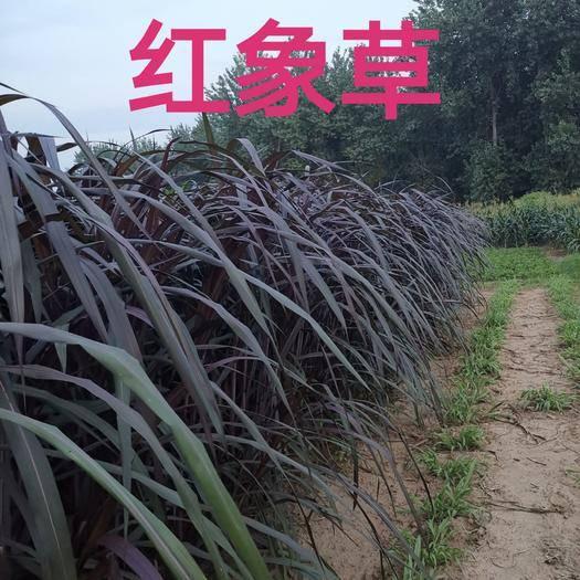 六安裕安区甜象草 巴西红象草种节种苗包邮