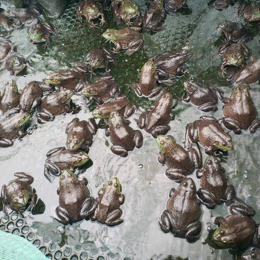 汕头澄海区 2020暖春战疫  美国青蛙肉满质优热销上市个头4两至1斤