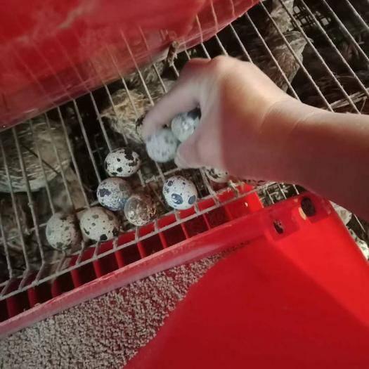 玉林玉州区桂花雀蛋 食用 箱装