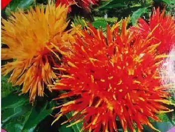 宿迁美丽日中花种子 红花种子种苗。