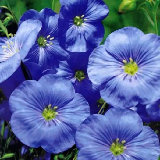 宿迁宿豫区蓝花亚麻种子 蓝花亚麻种苗优质品种有一年生的有多年生的植物品种