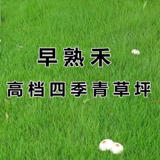 宿迁沭阳县早熟禾种子 早熟禾草坪种子 进口矮生四季青草籽 耐践踏庭院耐寒不修剪地毯
