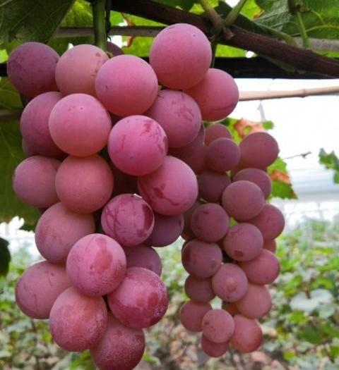 淄博临淄区 最好吃的葡萄丛林玫瑰即将上市