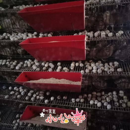 玉林玉州区白沙维种蛋 桂花雀蛋