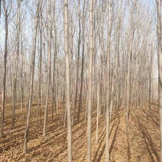 惠民縣 白蠟樹3到25公分有量