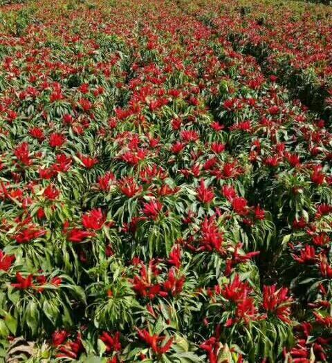 金乡县辣椒种子 高辣朝天椒种子干鲜两用,包回收,超高产,抗病强