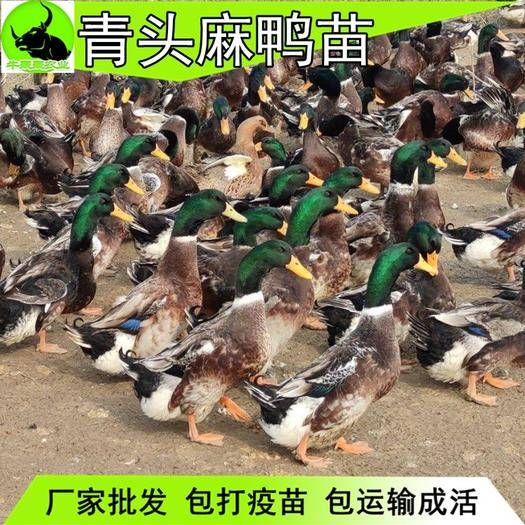 南寧西鄉塘區 青頭麻鴨