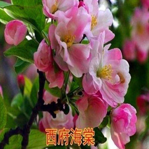臨沂平邑縣 西府海棠苗,適合南北方種植,基地直銷三包發貨。