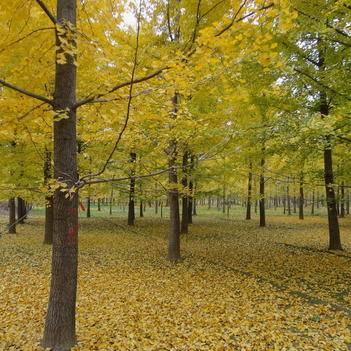 1-15-20-25-30公分银杏树价格 嫁接银杏树