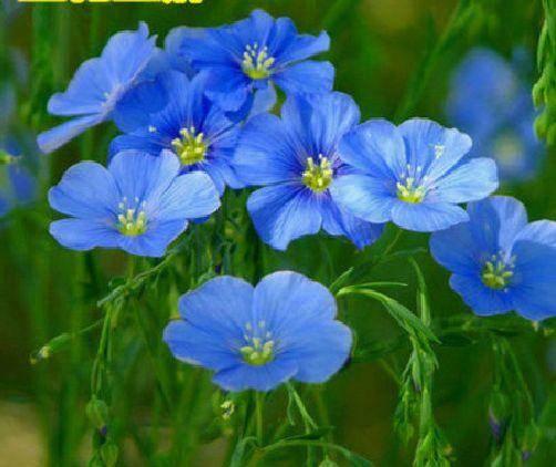 宿迁宿豫区蓝花亚麻种子 蓝花亚麻种苗有多年生的优质品种。