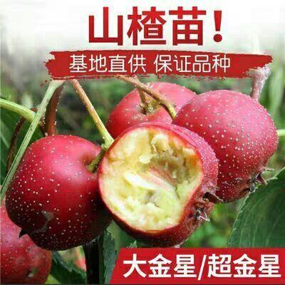 临沂平邑县大果山楂苗 保品种,保成活,死苗补发