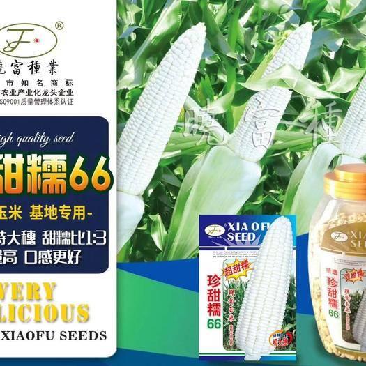 商丘夏邑縣 超甜糯珍甜66甜糯玉米種子 春秋專用品種200克/袋