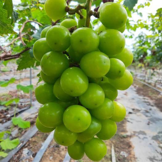乐东黎族自治县阳光玫瑰 1-1.5斤 5%以下 1次果