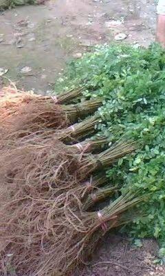民权县紫穗槐苗 大量供应紫穗槐,刺槐——工程用苗