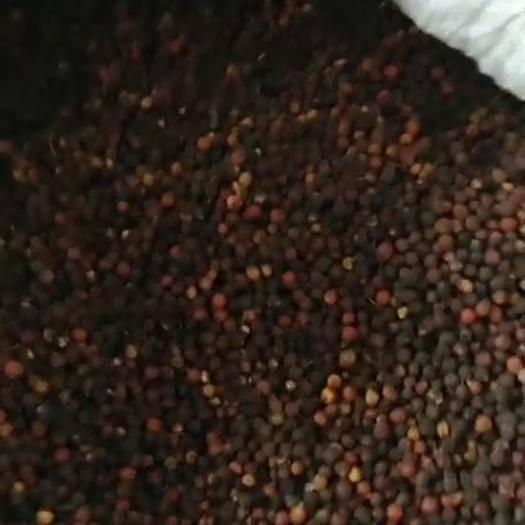 成都温江区 朴树种子小叶朴树种子