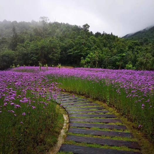 潍坊青州市马鞭草种子 马鞭草
