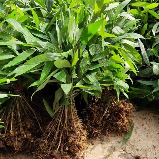 邵阳绥宁县 大量姜形多花黄精种苗销售,基地直供的,欢迎实地考察咨询。