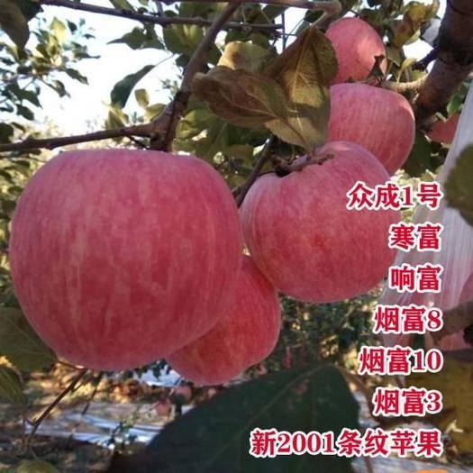 平邑县红富士苹果苗 苹果苗新品种 众诚一号烟富系列 果实大 产量高 现挖现卖