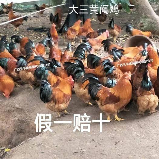 南寧西鄉塘區 【高銷量熱賣】三黃雞苗【有經營許可證】買賣更放心,靈豐公司