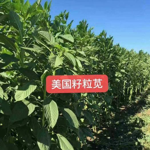 郓城县 美国籽粒苋种子千穗谷籽粒苋种子