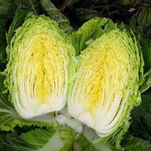 兰陵县 黄心精品大白菜,产地直发,质量保证
