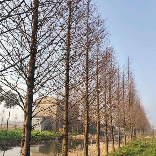 益陽南縣 精品水杉優質優價供應