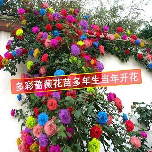 平邑縣 多彩爬薔薇花 四季開花月季花 包成活 保濕發貨