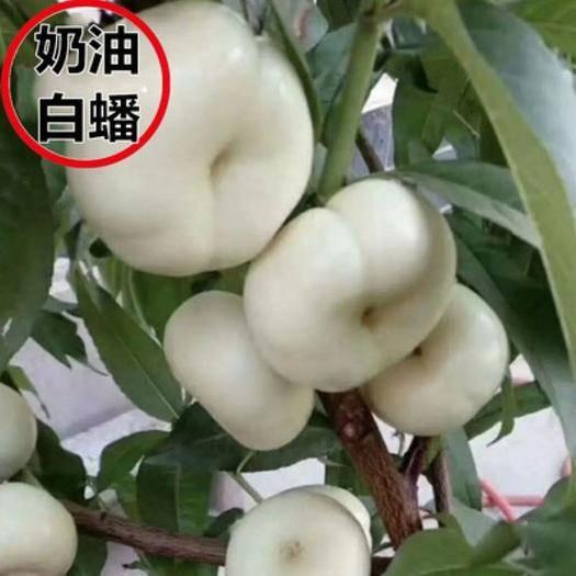 平邑县 奶油白蟠桃树苗,适合南北方种植,基地直销三包发货。