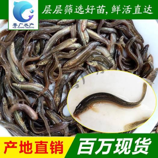 广州花都区 台湾泥鳅苗 不钻洞泥鳅 泥鳅水花活体鱼苗批发 质量保证