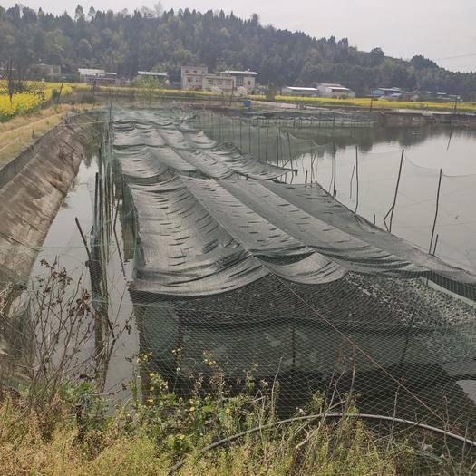 德阳中江县 水库水养殖牛蛙 品质好 自取