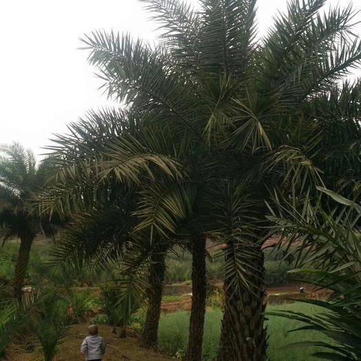 宜賓 中東海棗樹,2米一7米,450一1000元一顆,20顆起批