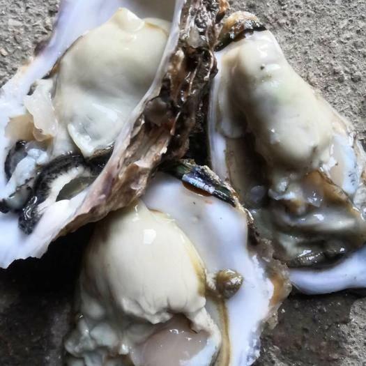 威海乳山市乳山牡蛎 乳山生蚝,肥货,规格大,壳薄育肥货。二倍体,可整车配送