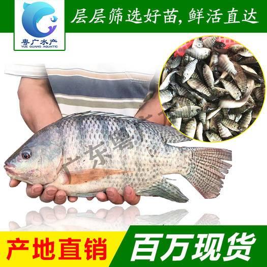 广州花都区 罗非鱼苗 罗非水花 新吉富罗非鱼苗批发 技术指导免费送货