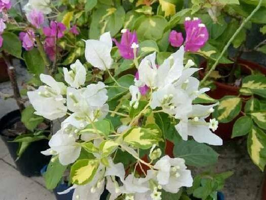 龙岩武平县 金心双色三角梅苗,稀有品种,爬藤