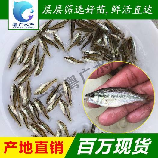 廣州 魚苗優質加州鱸魚苗優鱸一號魚苗大量批發基地直銷