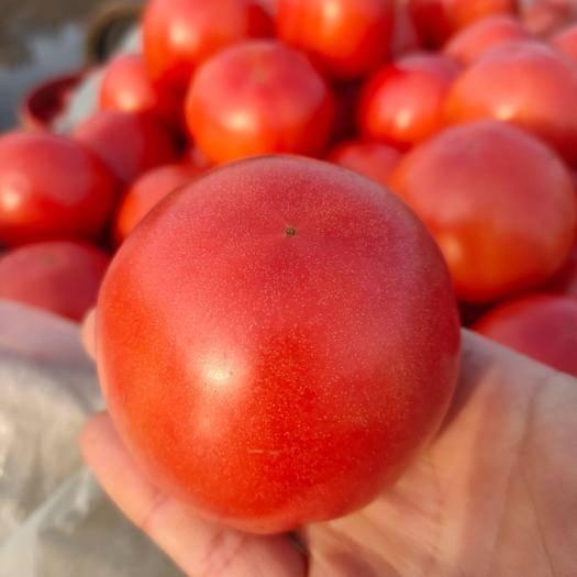 邯鄲 供應硬粉西紅柿(河北邯鄲西紅柿)弧3以上薄皮口甜價格低貨源