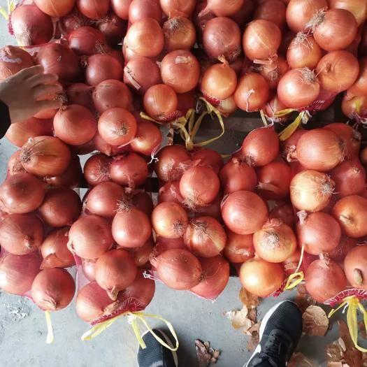 济宁金乡县 大量供应精品黄皮洋葱、代发全国各地市场
