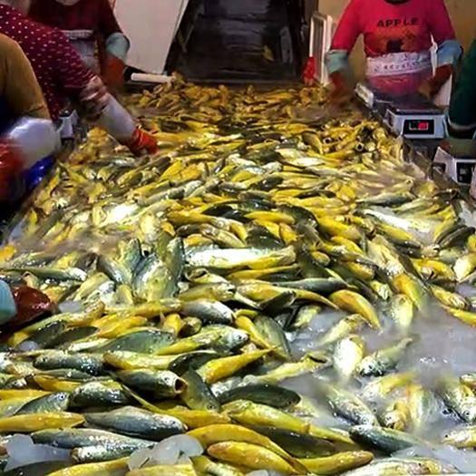 寧德蕉城區 寧德特產鮮凍 大黃魚廠家直銷黃花魚批發400-1000g