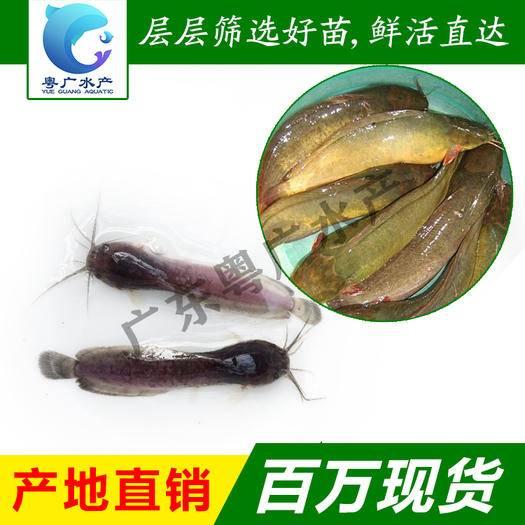 广州花都区 三黄塘角鱼苗 鲶鱼苗 杂交塘角 基地直销 提供技术指导